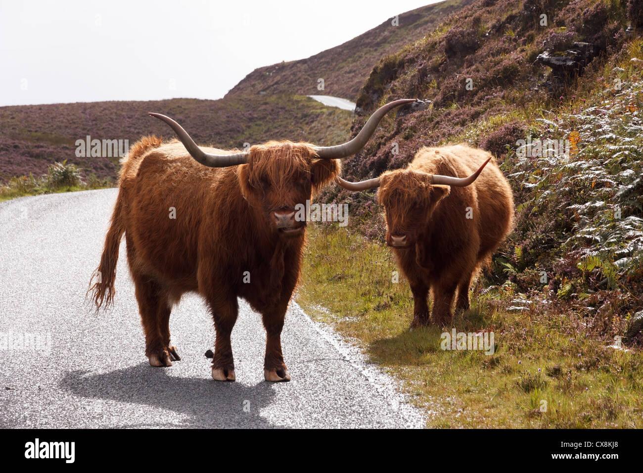 Roadblock! Scottish Highland cattle/ cows blocking the road near Elgol, Isle of Skye, Scotland, UK - Stock Image