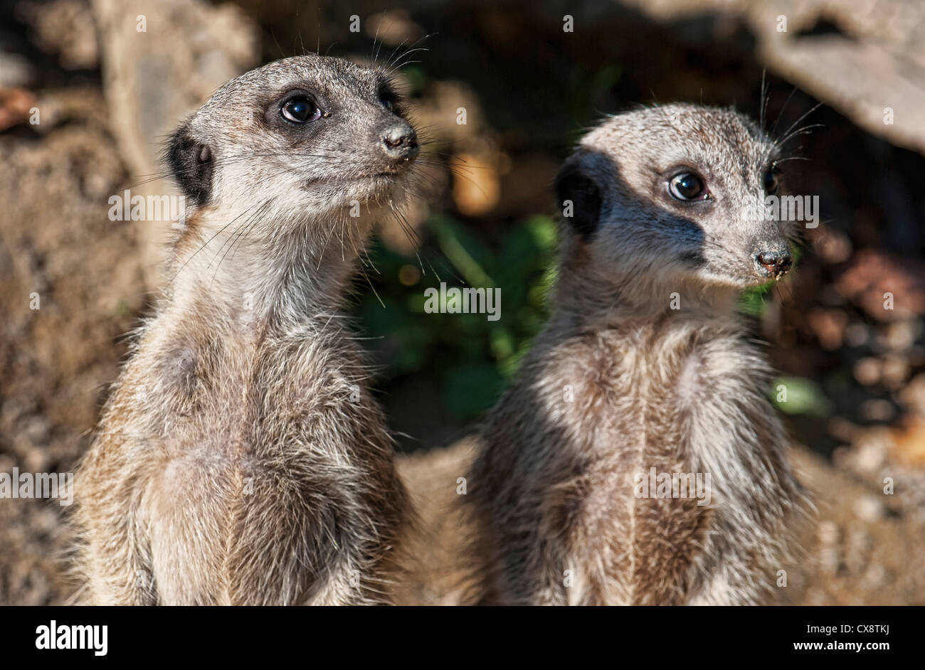 Meerkats On Guard Of His Territory Stock Photo 50596774 Alamy