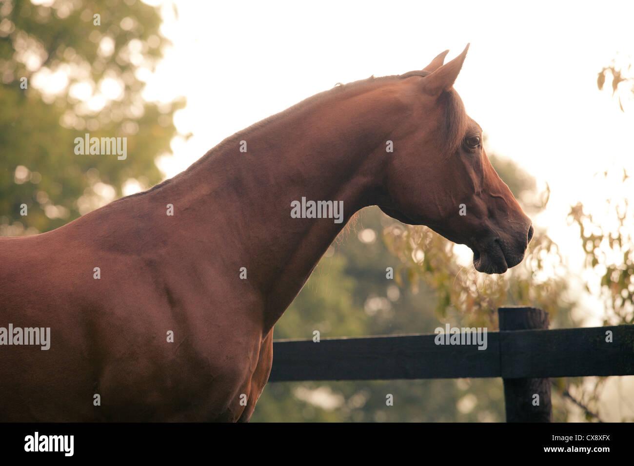 Polish Arabian bay male horse looking away - Stock Image