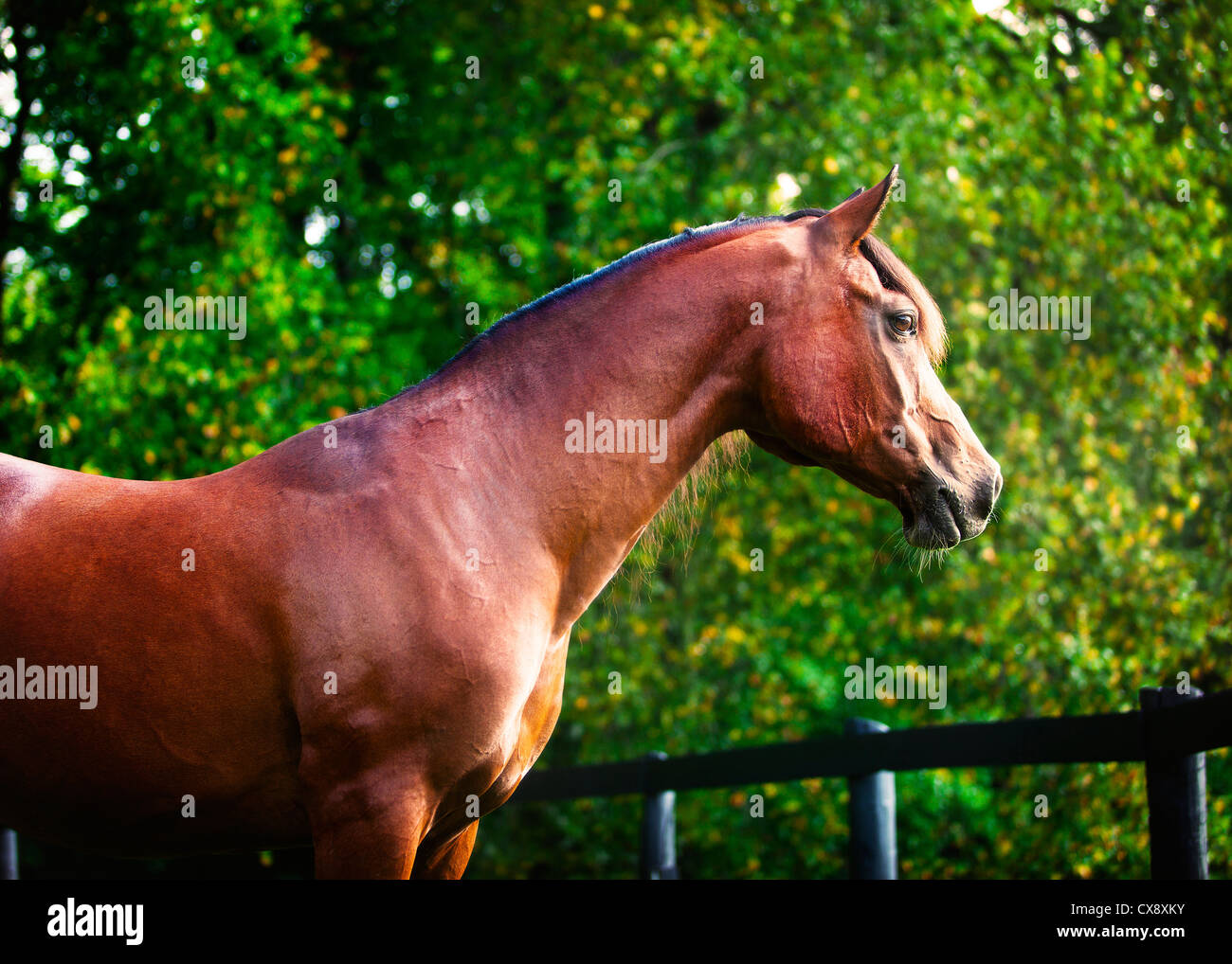 Polish Arabian bay male horse looking over fence portrait - Stock Image