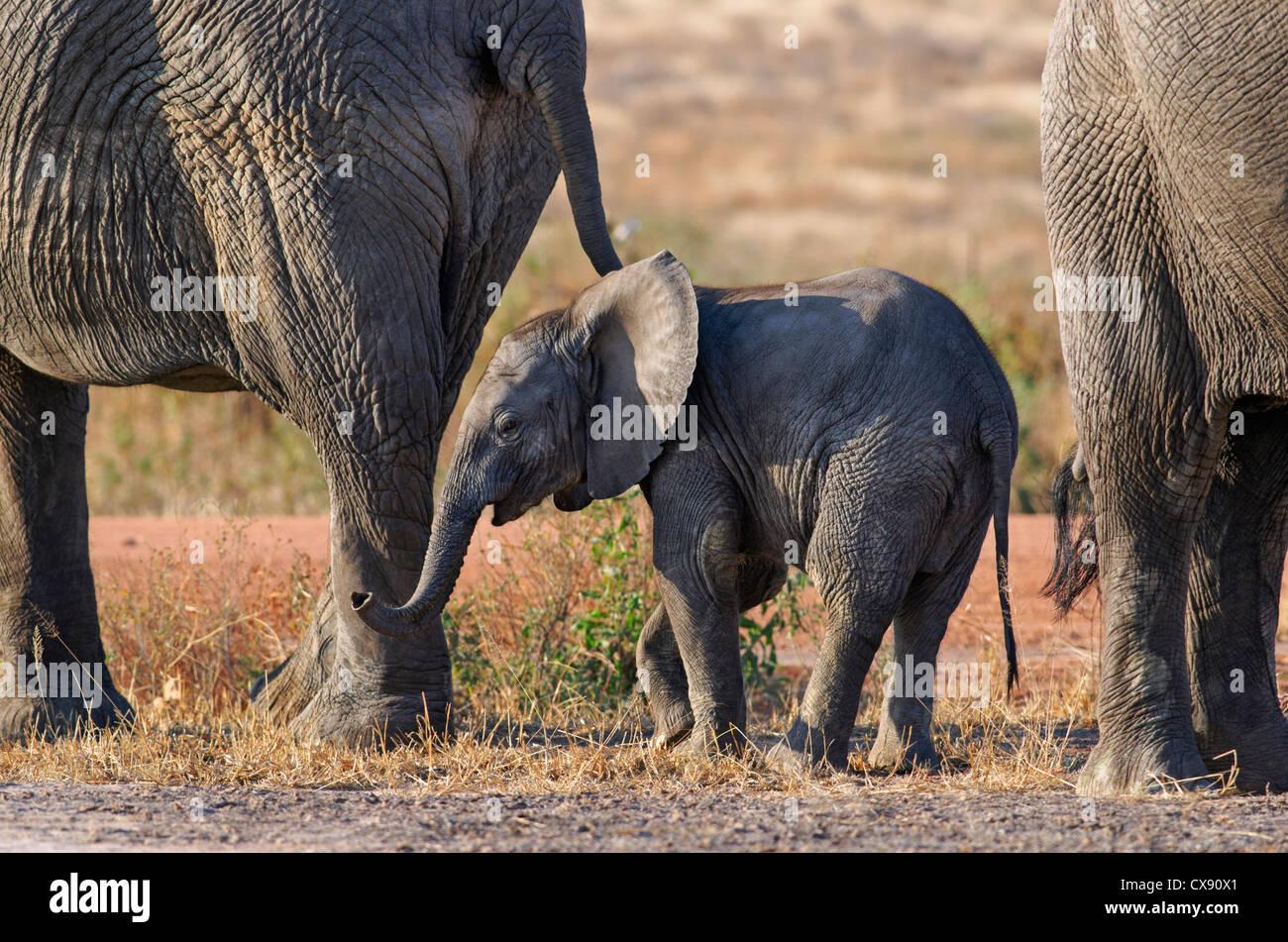 Family of elephants - Stock Image