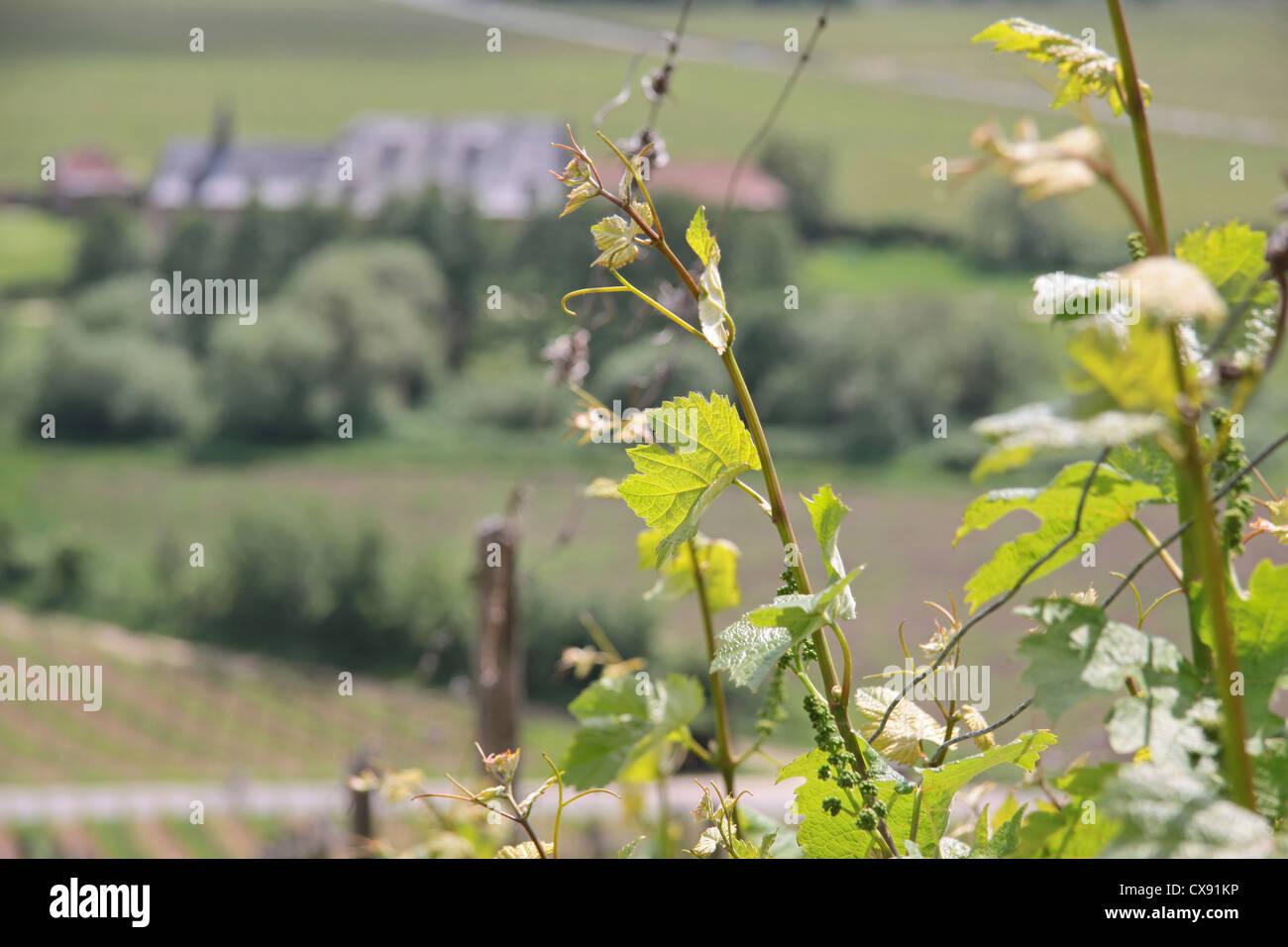 Young grape-vine Stock Photo