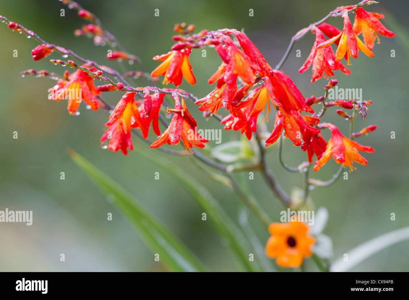 Flowers covered with morning dew in Savege area, Costa Rica. - Stock Image