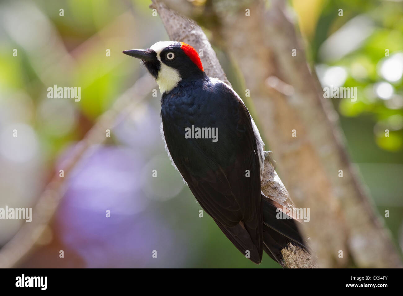 Acorn Woodpecker (Melanerpes formicivorus) perched on branch at Savegre Mountain Lodge, Costa Rica. - Stock Image
