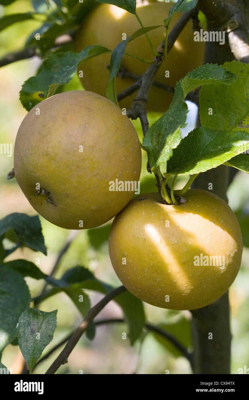 Malus 'Egremont Russet'. Apples growing in an English garden. - Stock Image