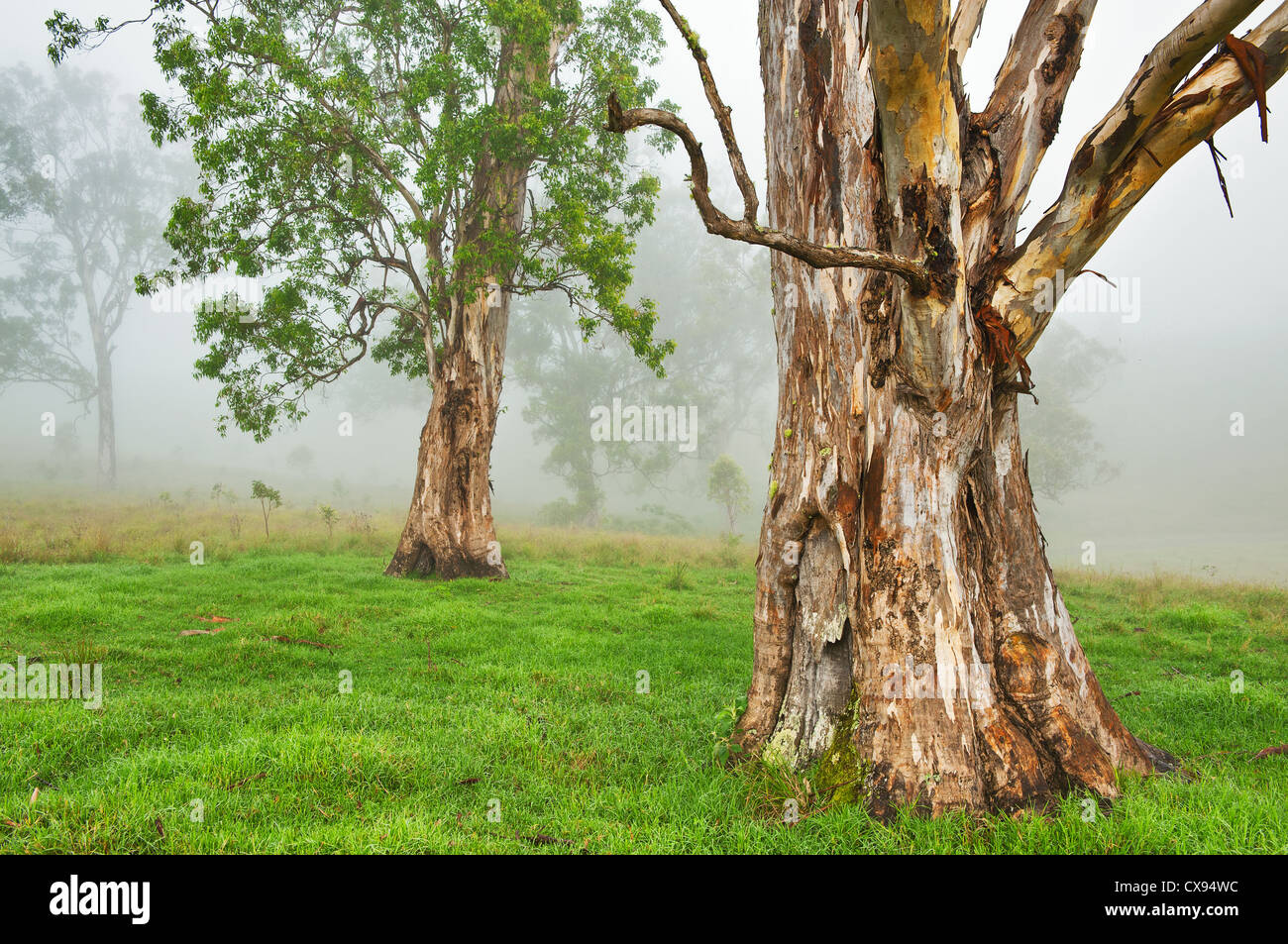 Eucalypt trees in morning mist. Stock Photo