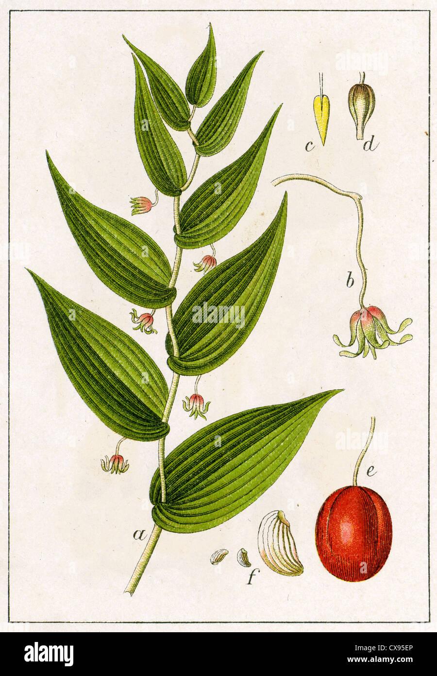 Convallaria amplexifolia - Stock Image