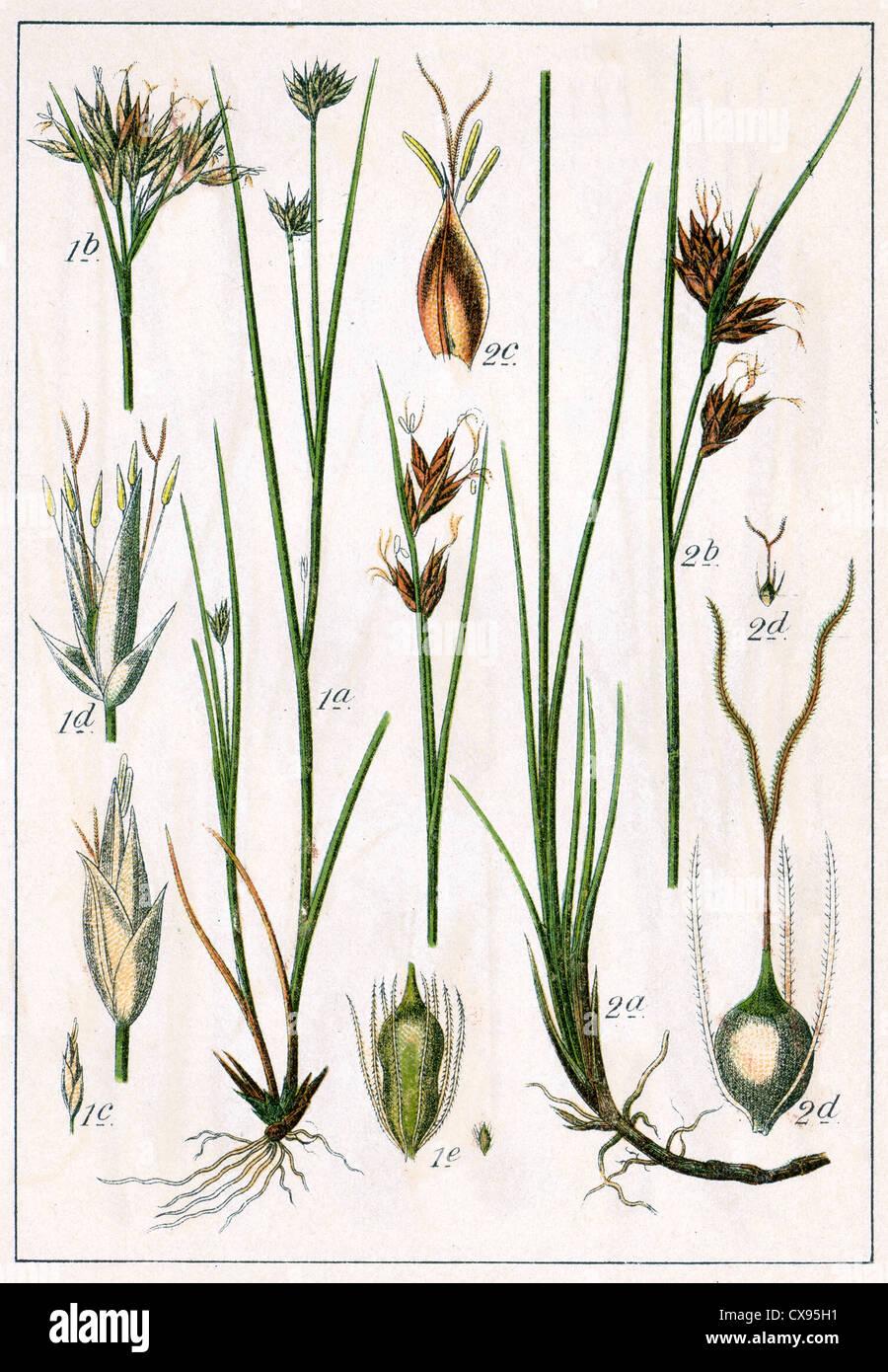 Rhynchospora alba - Rhynchospora fusca Stock Photo