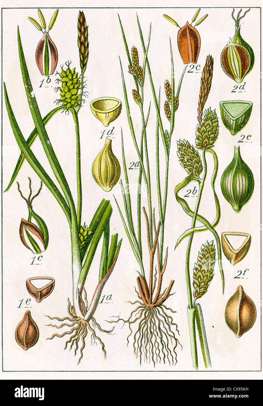 Carex Oederi - Carex extensa - Stock Image
