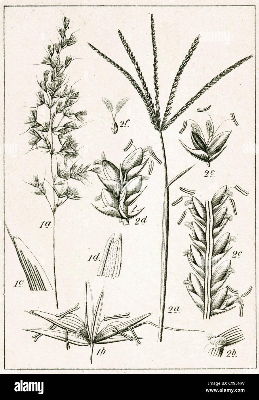 Arrhenatherum elatius - Cynodon dactylon - Stock Image