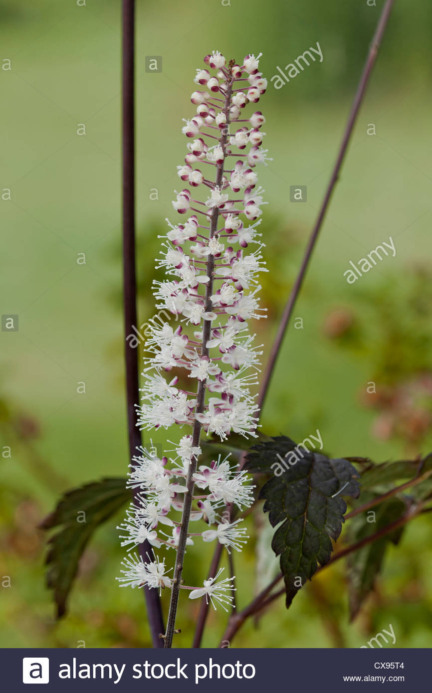 Actaea formerly cimicifuga racemosa atropurpurea group summer actaea formerly cimicifuga racemosa atropurpurea group summer flower perennial white september purple scented perfume tall mightylinksfo