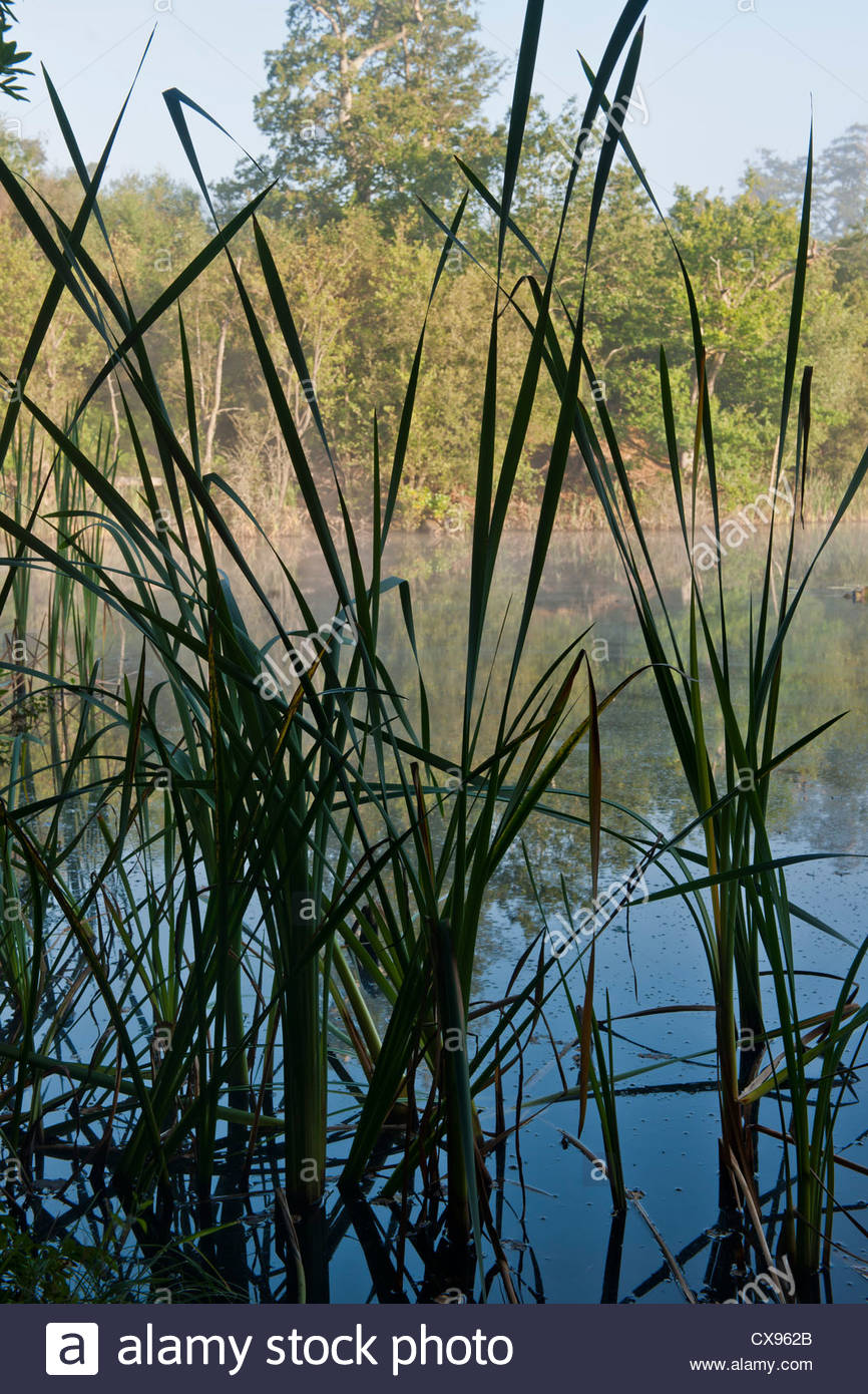 soft rush Juncus effusus Lake Wood East Sussex Woodland Tryst summer morning mist water view trees September native - Stock Image