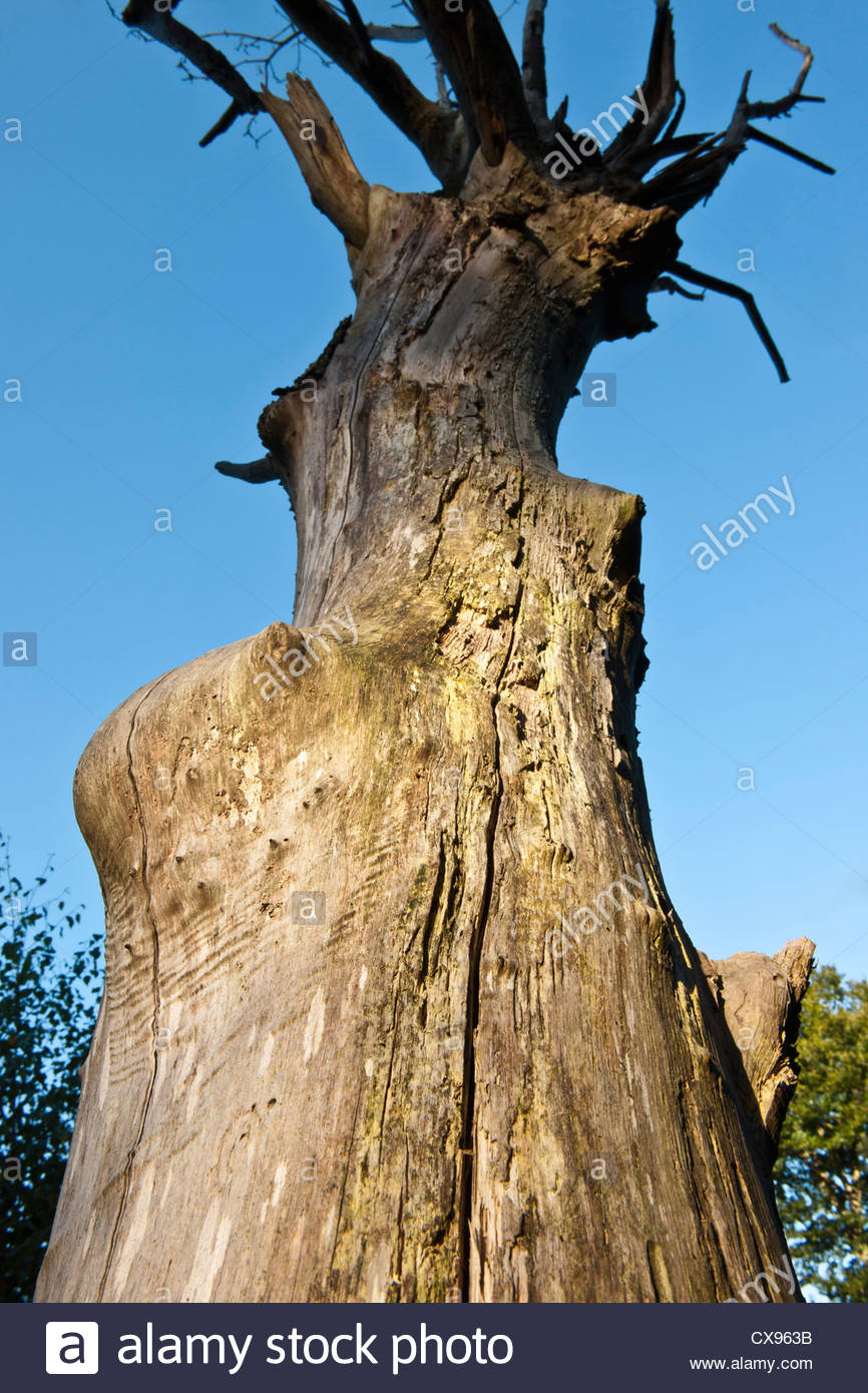 dead tree trunk Lake Wood East Sussex Woodland Trust sandstone ridges late summer September standing natural decay - Stock Image