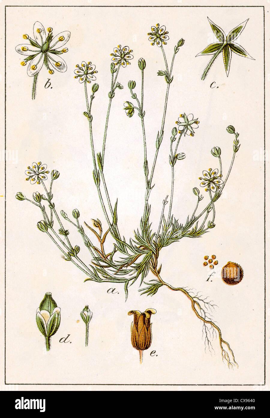 Alsine verna - Stock Image