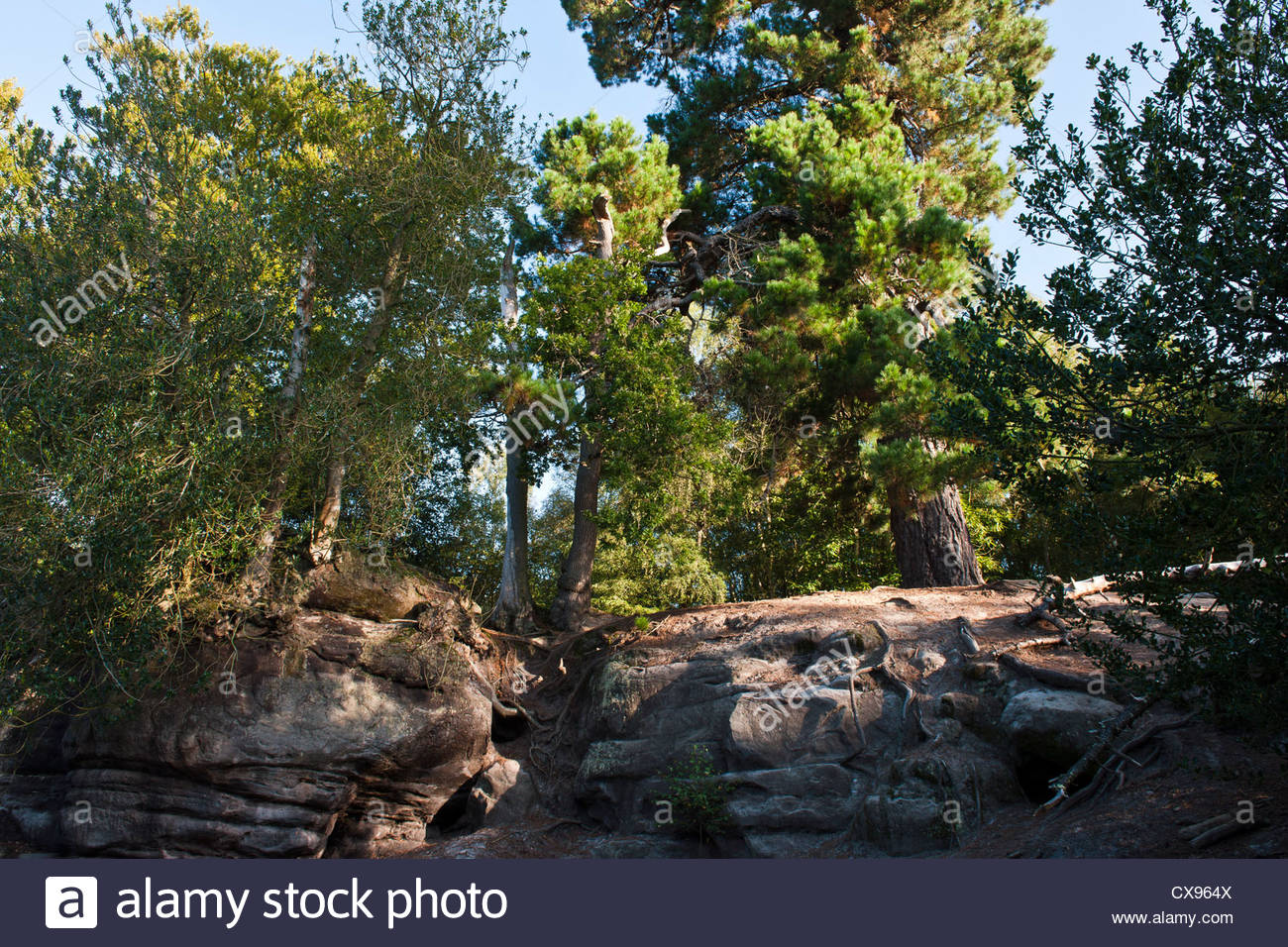 scots scottish pine Pinus sylvestris tree trunk Lake Wood East Sussex Woodland Trust sandstone ridges late summer - Stock Image