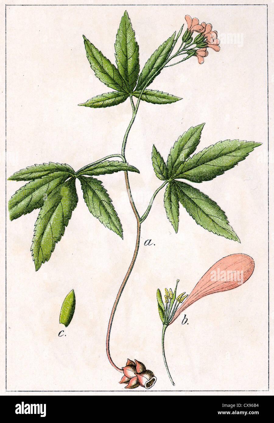 Crucifera pentaphylla - Stock Image