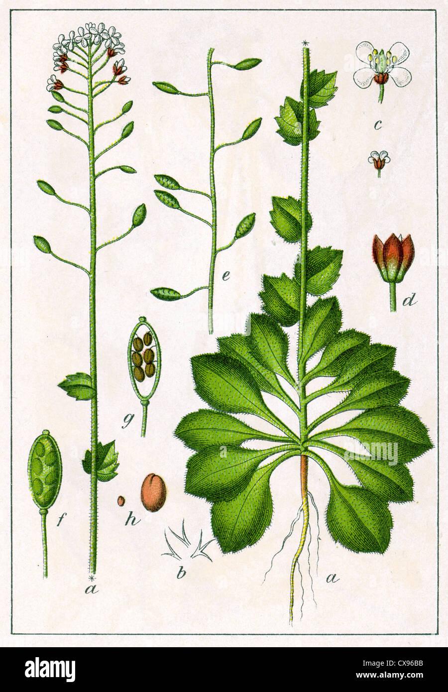 Crucifera capselloides - Stock Image