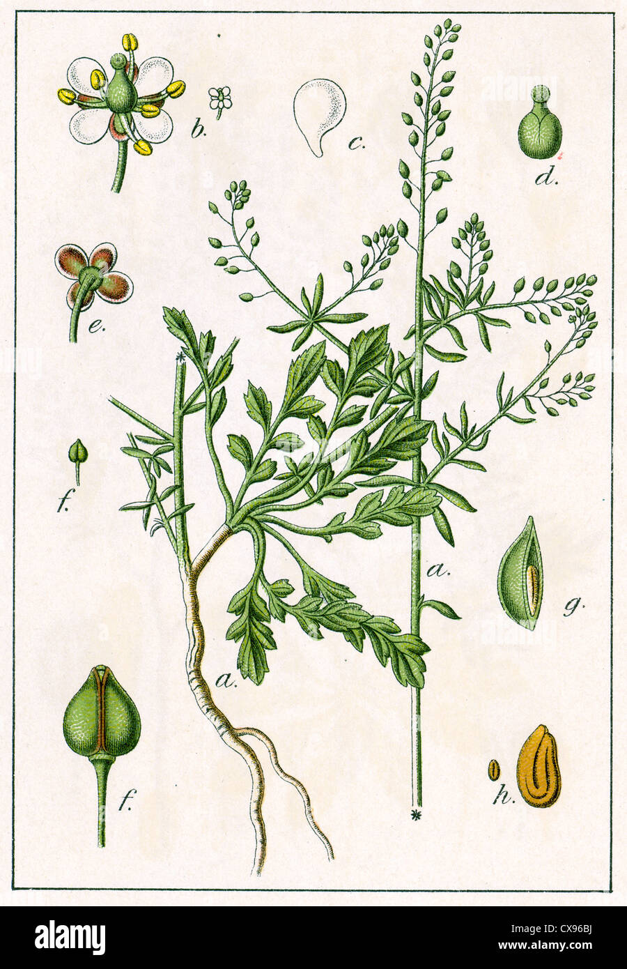 Crucifera graminifolia - Stock Image