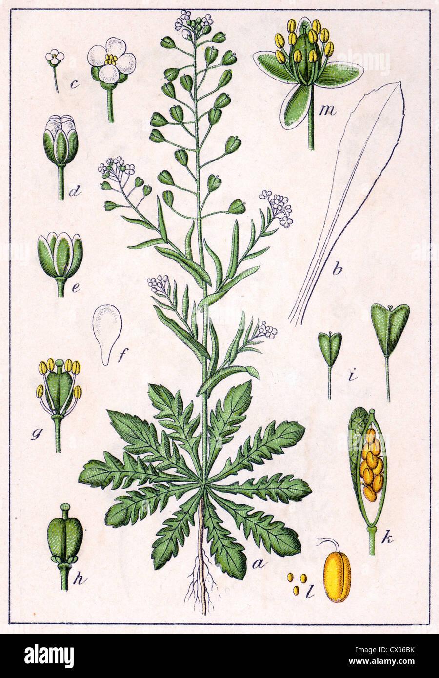 Crucifera capsella - Stock Image