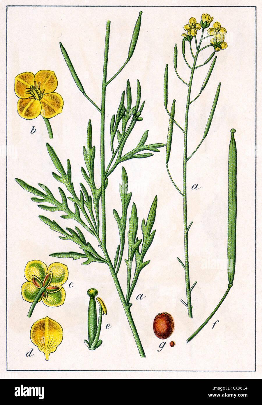 Crucifera tenuifolia - Stock Image