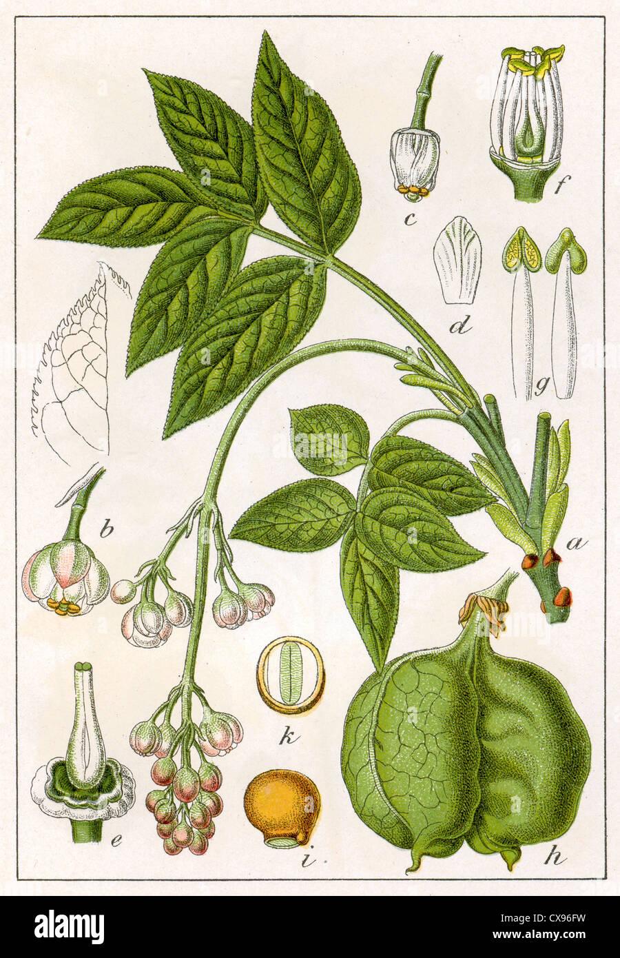 Staphylaea pinnata - Stock Image