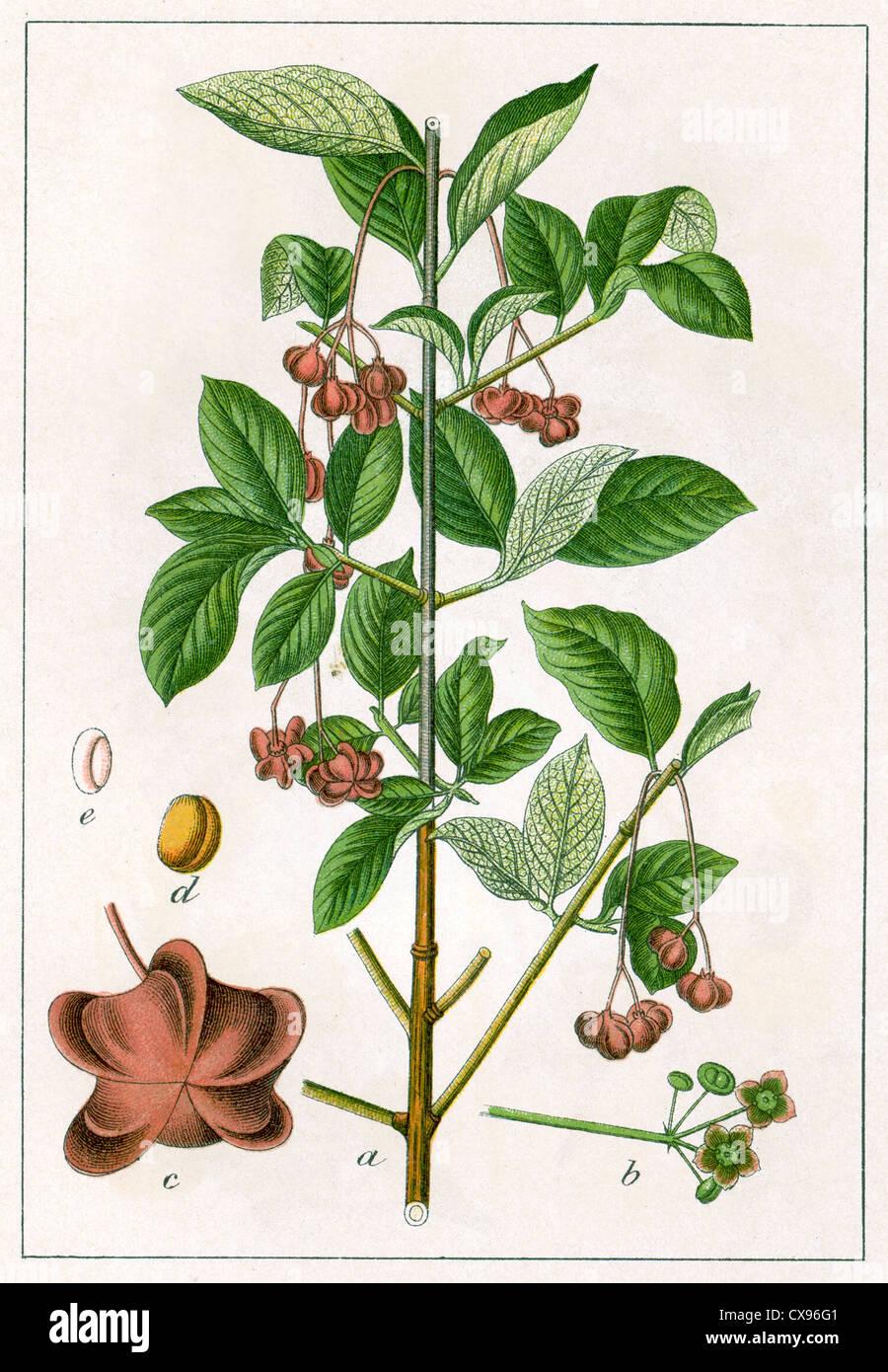 Evonymus latifolia - Stock Image