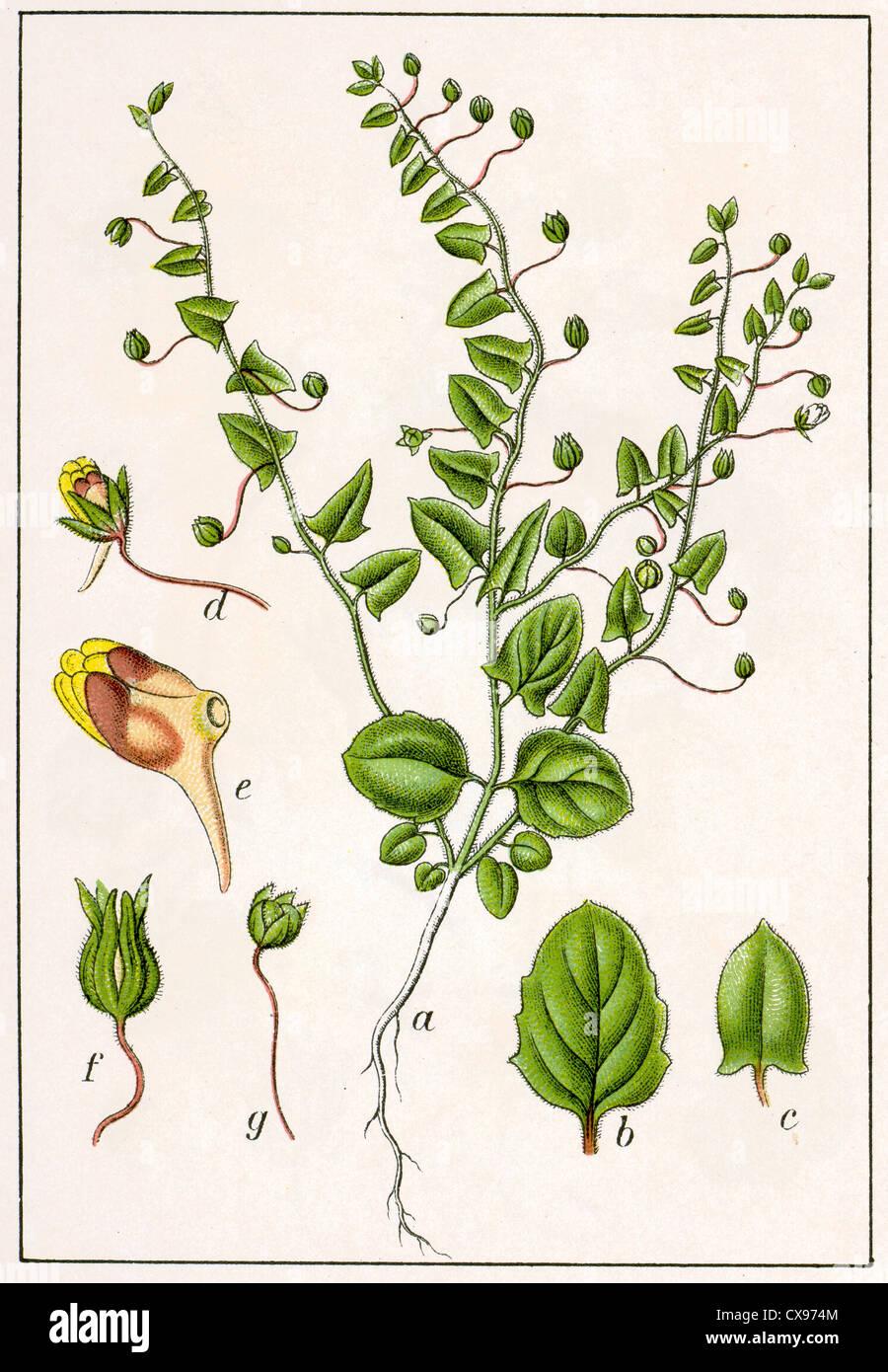 Antirrhinum elatine - Stock Image