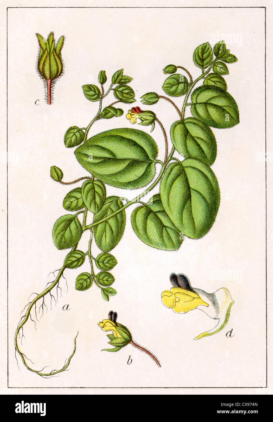 Antirrhinum spurium - Stock Image