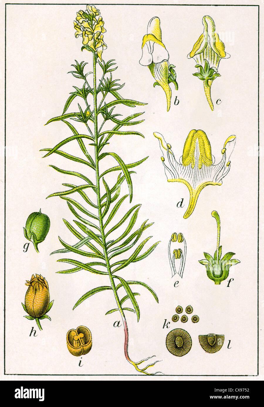 Antirrhinum linaria - Stock Image