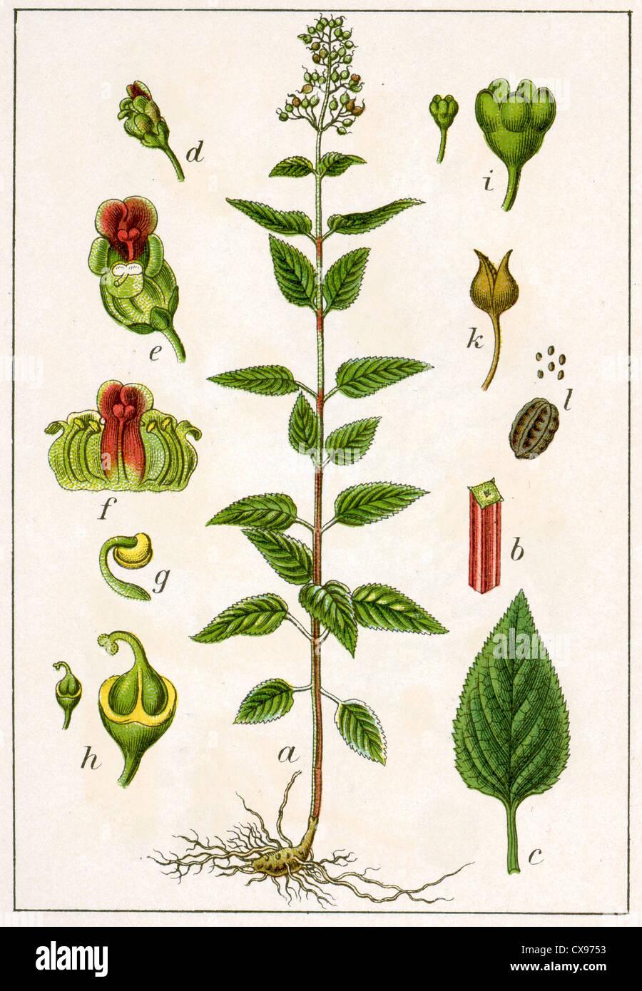 Scrofularia nodosa - Stock Image