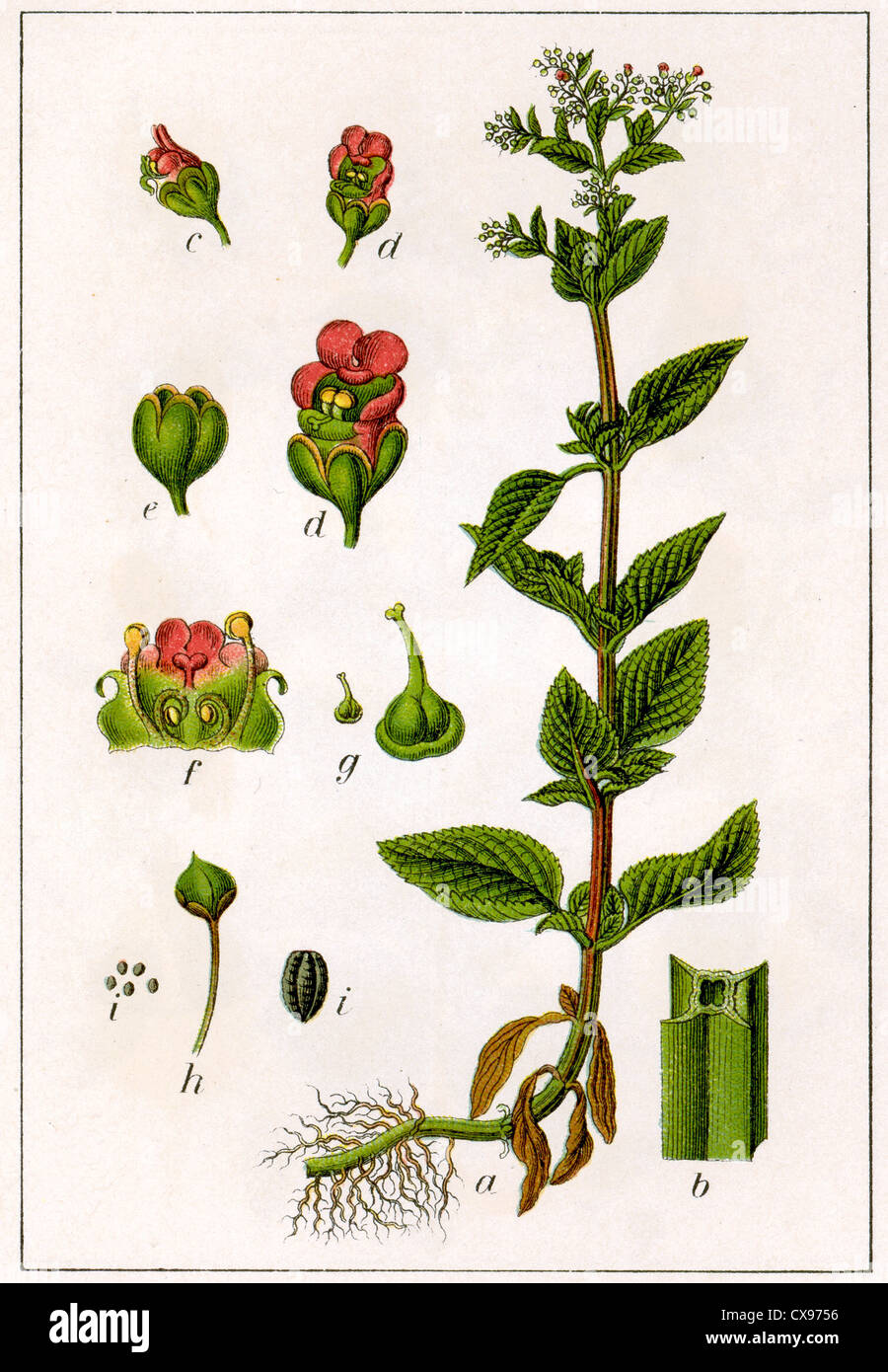 Scrofularia Ehrharti - Stock Image