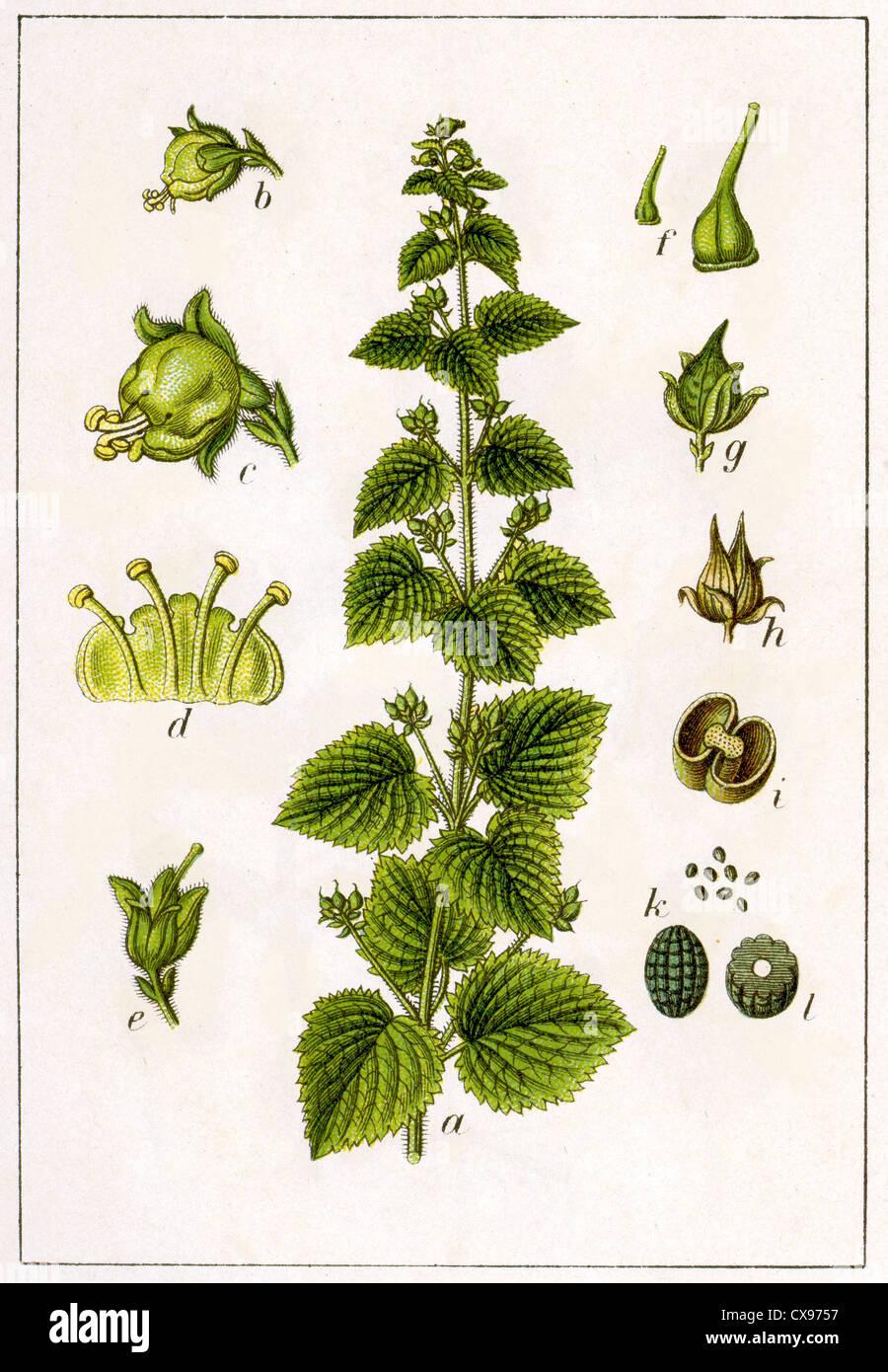Scrofularia vernalis - Stock Image