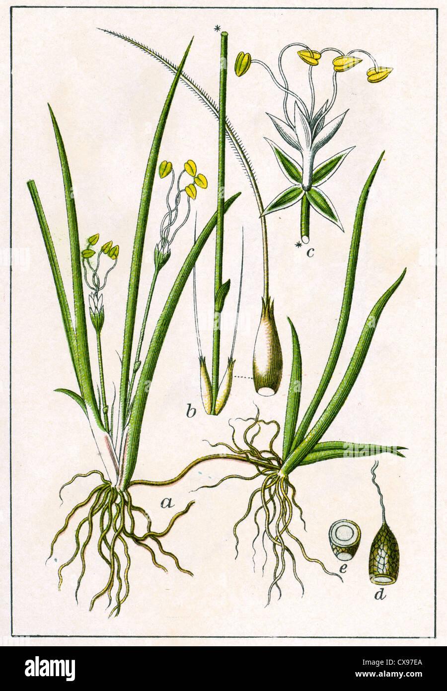 Litorella lacustris - Stock Image