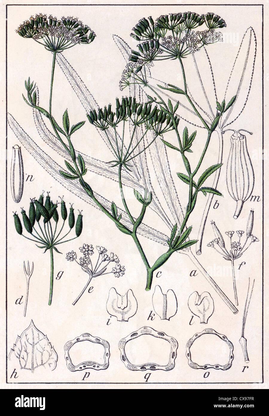 Falcaria Rivini - Stock Image