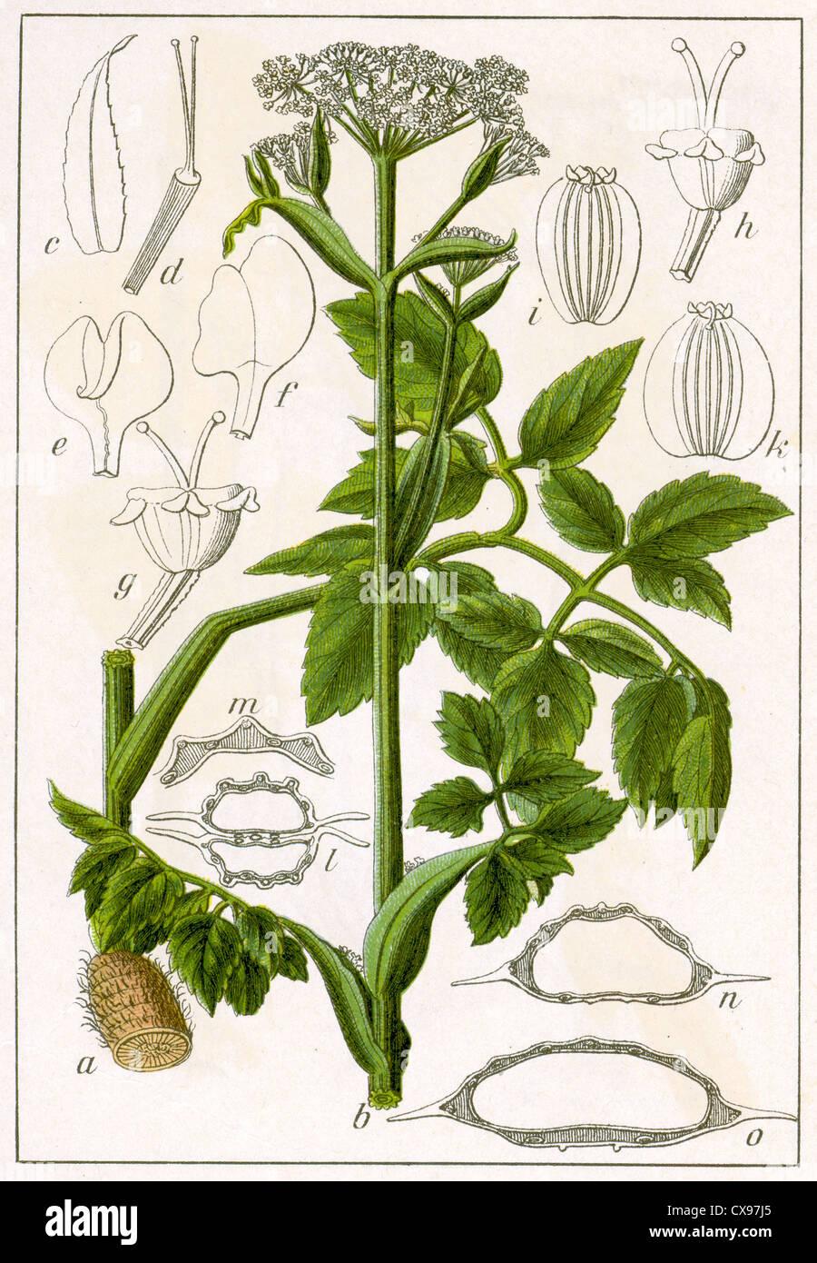 Ostericum palustre - Stock Image