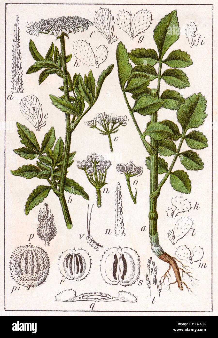 Tordylium maximum - Stock Image