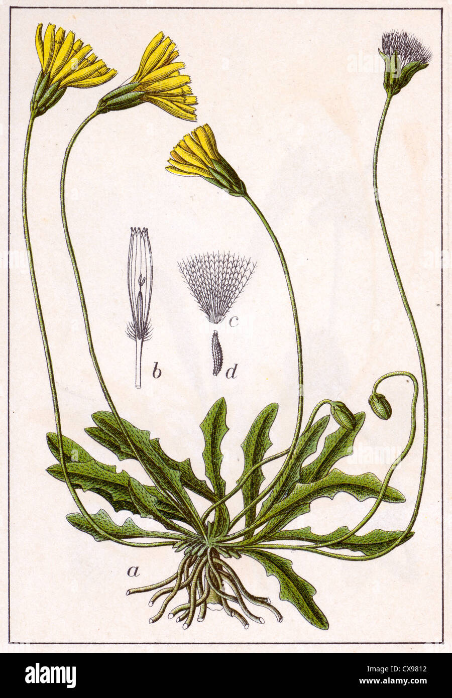 Thrincia hirta - Stock Image
