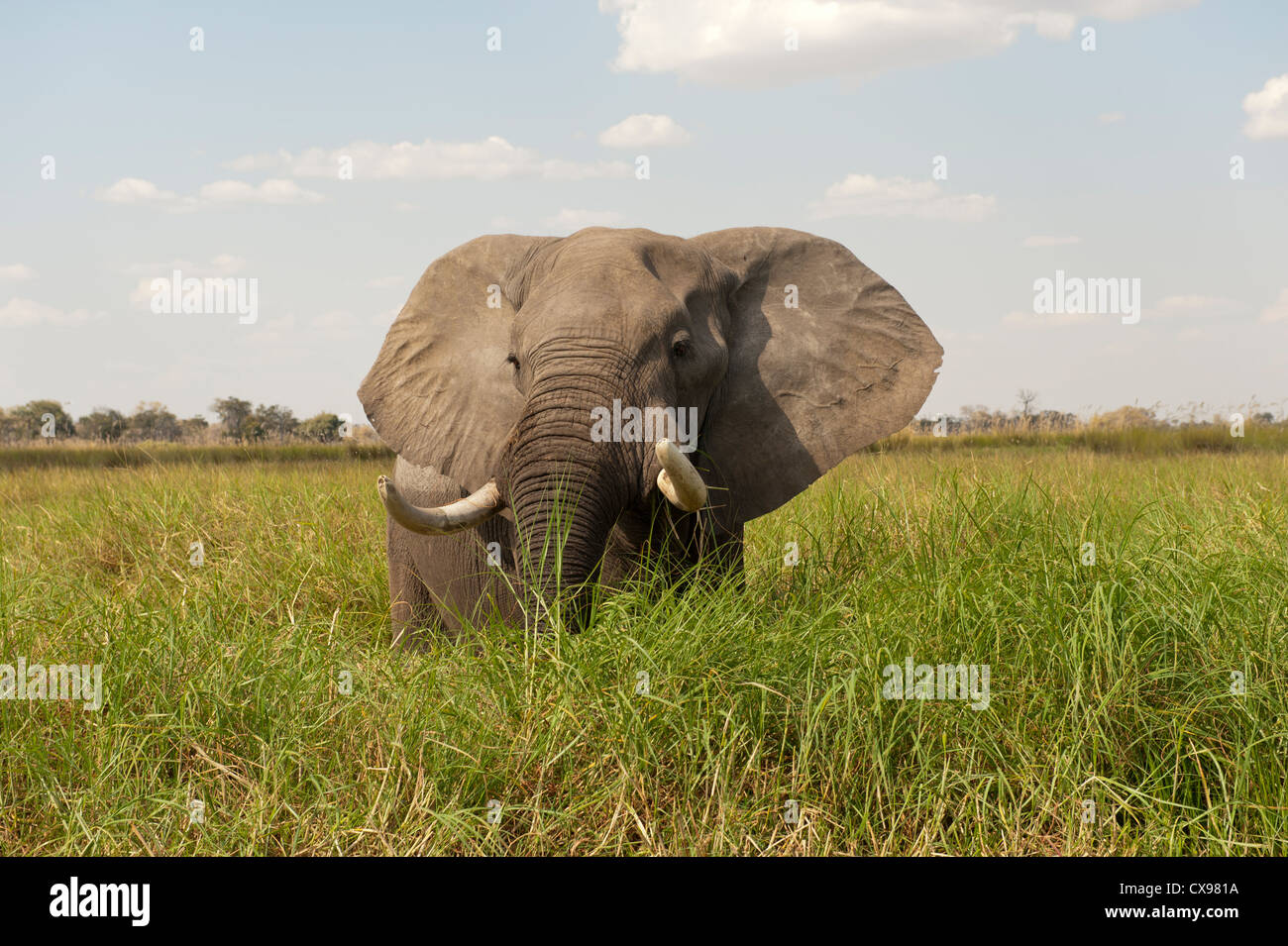 African elephant with tusks in the bush in the Okavonga Delta of Botswana - Stock Image