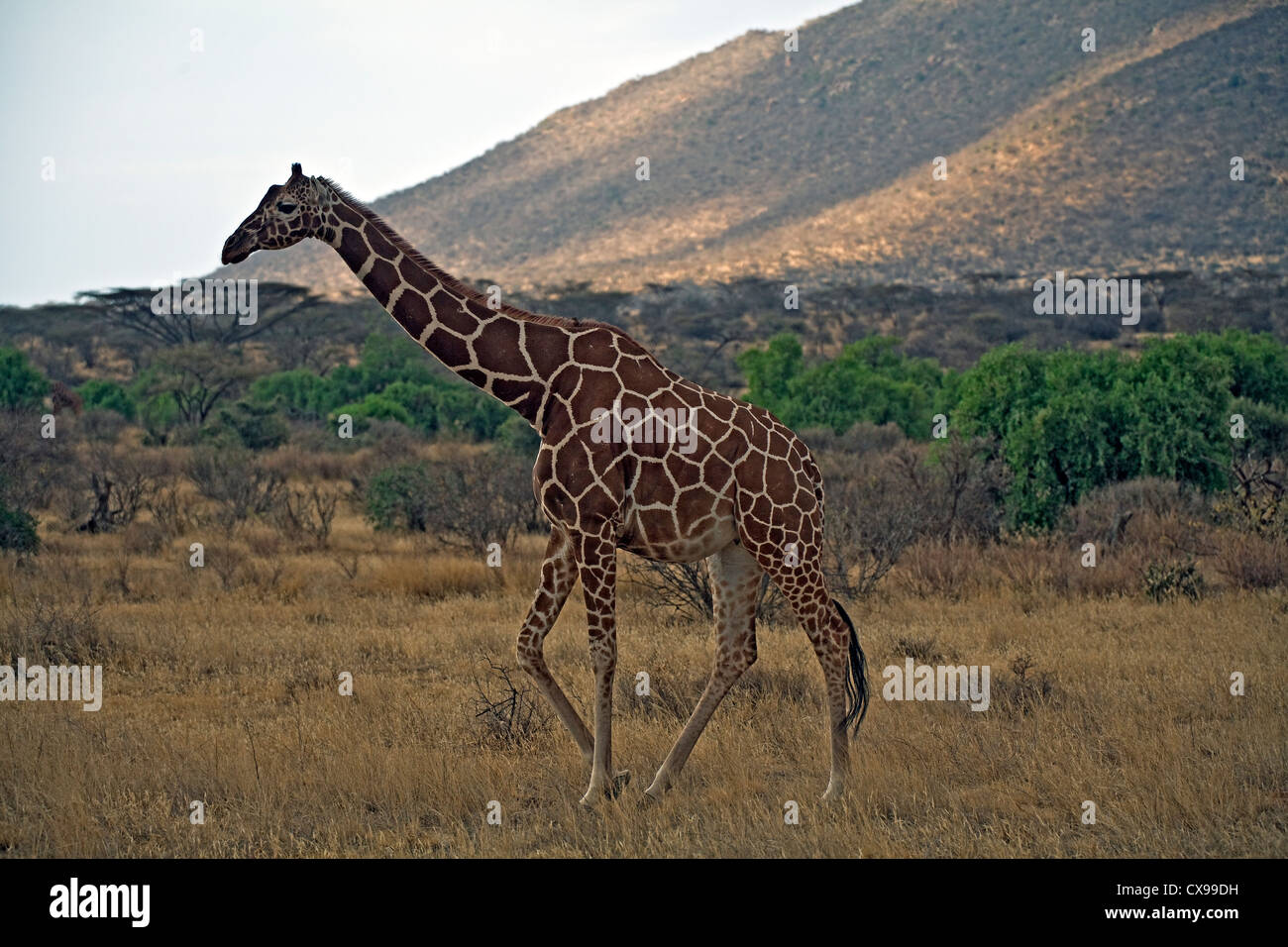 Giraffe (Camelopardalis) in Safari - Stock Image