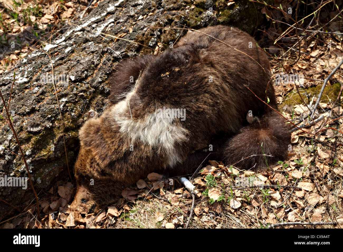Dead bear cub which died of starvation in spring without female bear. Southern Ural mountains. Alabiya ridge. - Stock Image