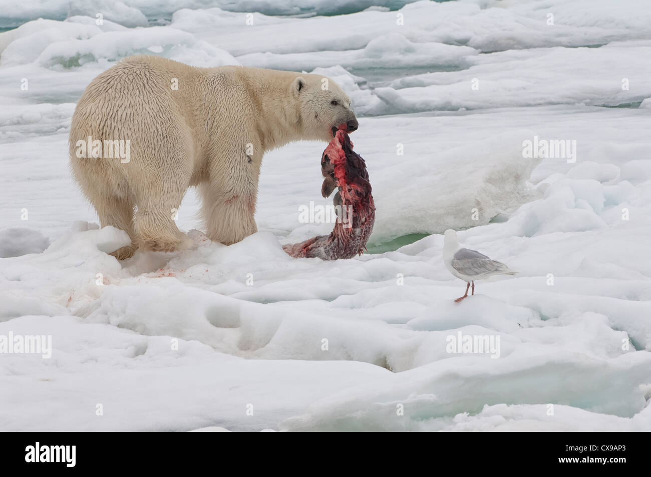 Male polar bear (Ursus maritimus) with a seal prey, Svalbard Archipelago, Barents Sea, Norway - Stock Image