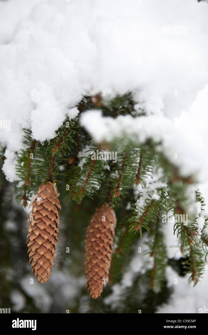 pine cones on snowy tree - Stock Image