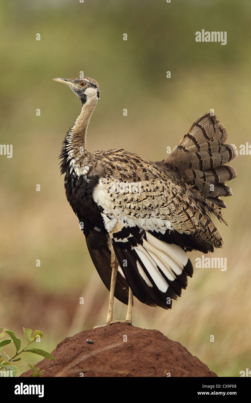 A Black Bellied Korhaan airs its feathers after a long night of rain in the Kruger National Park. - Stock Image