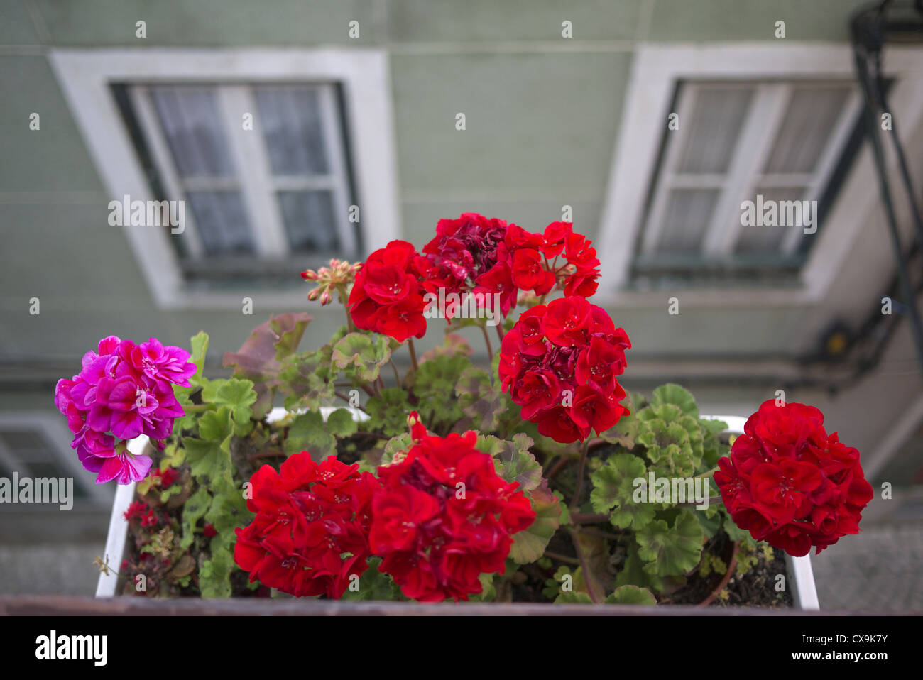 Window box containing Geraniums. - Stock Image