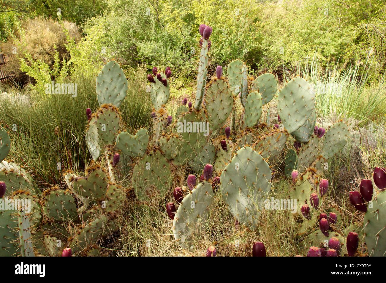 field of birds foot prickly pear cactus pricklypear opunita microcarpa cactaceae botanical garden gardens - Stock Image