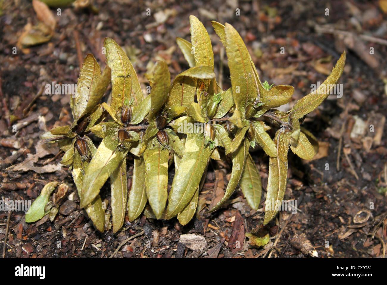 European Hornbeam Carpinus betulus Seeds - Stock Image