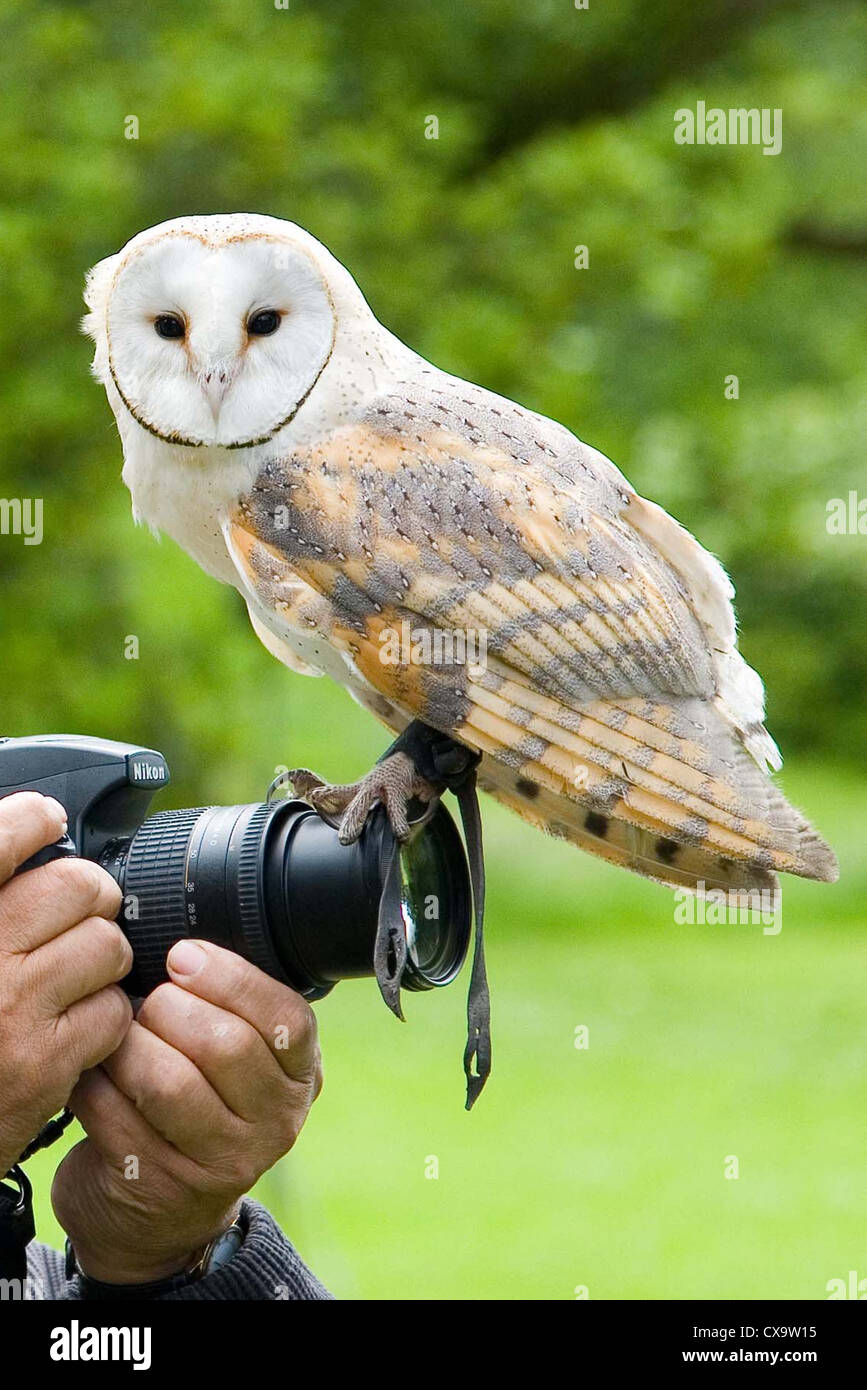 Tame Barn Owl perched on photographer's camera - Stock Image