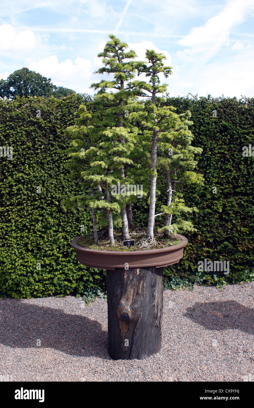 Cedar Bonsai High Resolution Stock Photography And Images Alamy