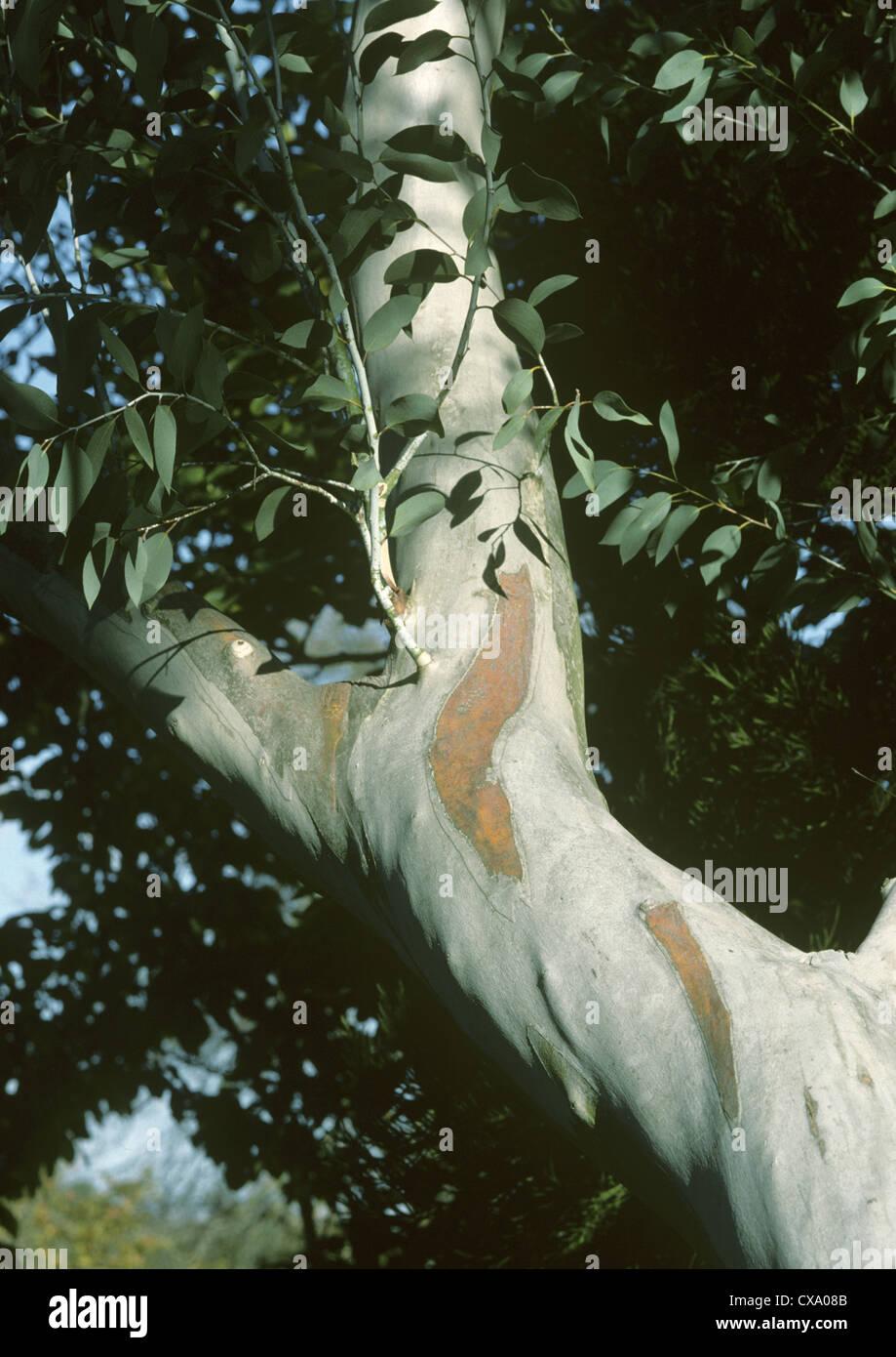 Snow Gum Eucalyptus pauciflora ssp. niphophila - Stock Image