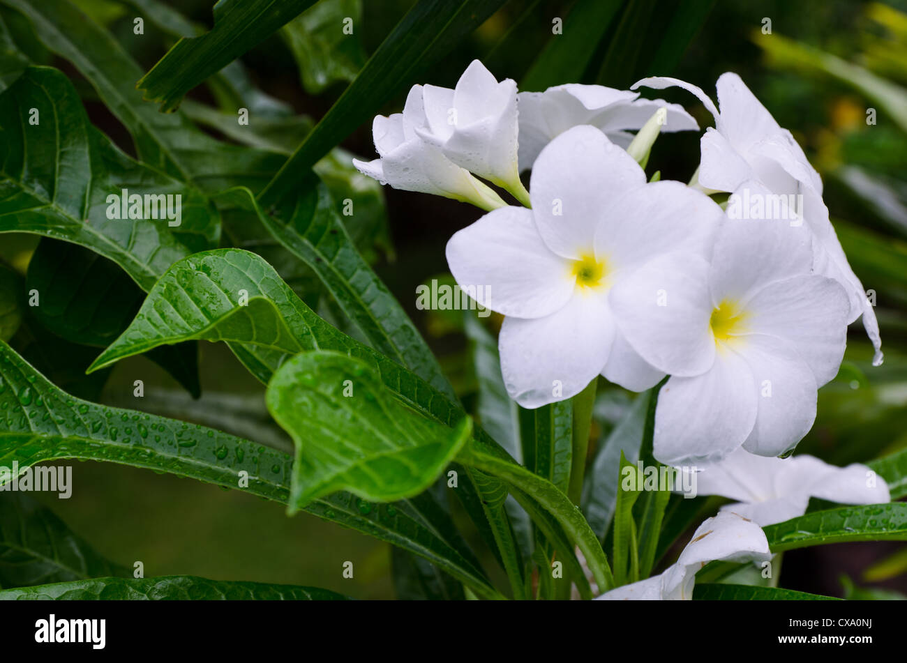 White blossom flower from thailand stock photo 50621918 alamy white blossom flower from thailand mightylinksfo